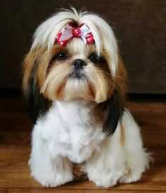 I want a girl shih-tzu!  ---->shih-tzu-haircuts-cute-bows