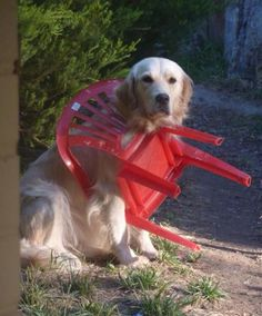 cachorro trapalhão