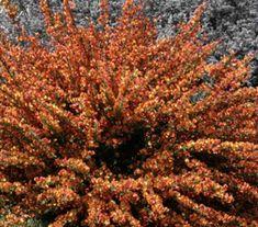 Cytisus x dellimorei Volcano Modern Gardens, Volcano, Garden Plants, Gardening, Touch, Lawn And Garden, Volcanoes, Contemporary Gardens, Garden Modern