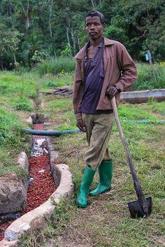 Coffee Pusher - spent coffee cherry skin exiting Kuti washing station mill, in Kaffa, Ethiopia.