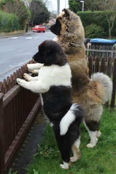Akita - the second one is such a teddy bear! (the first's tail!!!!!)