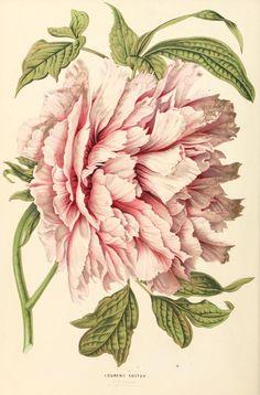 4 - Annales d'horticulture et de botanique, ou Flore des jardins du royaume des Pays-Bas, | Peony