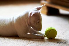 Little Bulllie and his Ball