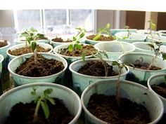 ing out Tomato Seedlings | Gardening for Food | Pinterest ... Designing A Vegetable Garden Pots Html on