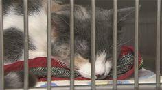 La semaine nationale de la stérilisation animale est en cours au Québec pour une 4e année consécutive. C'est l'occasion pour la SPAMauricie de stériliser une centaine de chats et de sensibiliser la population aux bienfaits de la pratique.
