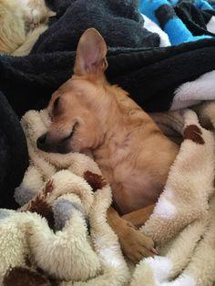 Sweet Dreams, Corgi, Pets, Animals, Corgis, Animales, Animaux, Animal, Animais