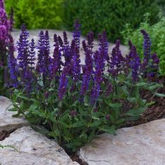 Salvia x superba. Full sun and well-drained soil.
