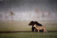 Nordic Thoughts: Bear and wolf's unlikely friendship...