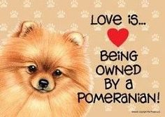 LOVE is indeed being owned by a Pomeranian!