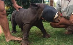 The Rhino Orphanage is a non-profit organization dedicated to rescuing and rehabilitating injured and orphaned rhinos with the goal of returning them to the wild. Scary Photos, Dog Control, Baby Rhino, Animal Rescue Stories, Save Wildlife, World Pictures, Good Cause, Farm Animals, Little Boys