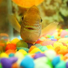 Green Terror  #cichlid #fish #aquarium #home #colours #pebbles #trippy