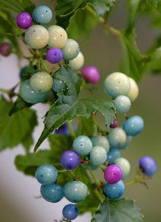 Ampelopsis brevipedunculata (a.k.a., porcelain berry)
