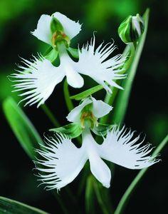Orchidée japonaise