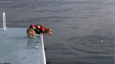 A corgi in a life jacket epitomizing the diving grace of its breed. Truly mesmerizing.