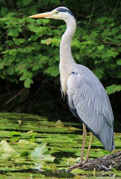 Grey Heron (Ardea cinerea), blauwe reiger