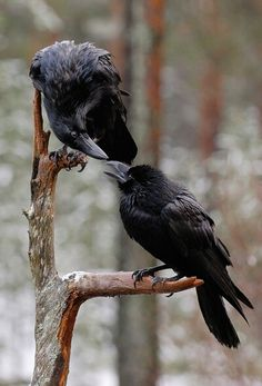 I've always wanted a pet crow. They are so intelligent and beautiful.