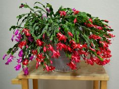 How to Save a Rotted Christmas Cactus If you catch the disease early, you may be able to save it. Remove the Rotted Christmas Cactus from the container immediately. Trim away. Christmas Cactus Plant, Easter Cactus, Christmas Flowers, Cactus Flower, Flower Pots, Cactus Cactus, Flower Bookey, Flower Film, Cactus Decor