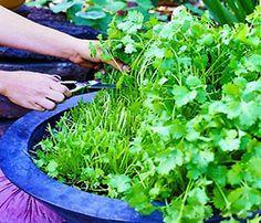A better way to grow cilantrogrow a garden