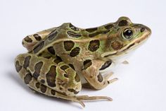 The northern leopard frog is a common true frog found in North America. Learn more with these northern leopard frog facts. Leopard Pictures, Frog Habitat, Frog Facts, Small Frog, Lifecycle Of A Frog, Toronto Zoo, Frog Life, Frog And Toad, Vertebrates