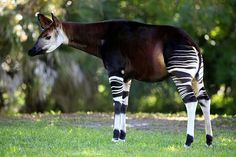 The national animal of the Democratic Republic of the Congo is Okapi. Okapi is sometimes called the forest giraffe or forest zebra, but one of its les Different Types Of Animals, Living Fossil, Photo Animaliere, National Animal, Okapi, Unusual Animals, Bizarre Animals, Prehistoric Animals, Tier Fotos