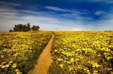 Footpath through the flowers by Nauta Piscatorque on YouPic West Coast, Vineyard, Landscape, Flowers, Outdoor, Outdoors, Vine Yard, Scenery, Florals