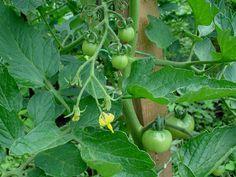 Zwijanie się liści pomidora - przyczyny, zapobieganie, zwalczanie Vegetable Garden, Vegetables, Origami, Motorcycles, Gardening, Cars, Lawn And Garden, Vegetables Garden, Autos