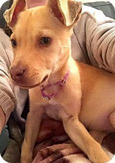 Durham, NC - Labrador Retriever Mix. Meet Bruegger, a puppy for adoption. http://www.adoptapet.com/pet/14802590-durham-north-carolina-labrador-retriever-mix