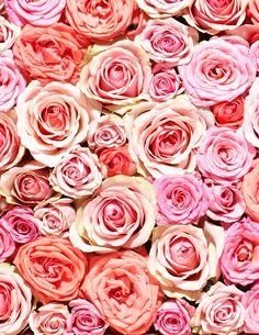 Pink roses - wallpaper for phone and desktop -