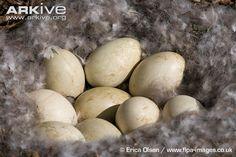 Barnacle goose eggs