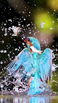 Funny Birds, Cute Birds, Pretty Birds, Most Beautiful Birds, Common Kingfisher, Kingfisher Bird, Exotic Birds, Colorful Birds, Old Poster