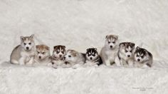 4 Photos Of Puppies That You'll Want To Snuggle The Siberian Husky How about 8 super snuggly pups with thick coats to keep you warm and cozy. Cute Baby Husky, Cute Husky Puppies, Siberian Husky Puppies, Husky Puppy, Siberian Huskies, Husky Photos, Dog Photos, Dog Wallpaper, Animal Wallpaper