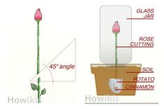 Great Tip on How to Grow Rose from Cutting Easily. #diy, #planting, #gardening, #rose