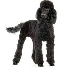 Image result for poodle kennel clip