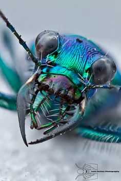 Glad these guys aren't any bigger! Iridescent dragonfly head by Colin Hutton Photography Correction: This is a tiger beetle Cool Insects, Bugs And Insects, Beautiful Bugs, Amazing Nature, Beautiful Creatures, Animals Beautiful, Mantis Religiosa, Cool Bugs, Scary Bugs