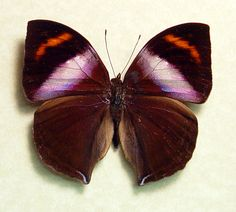 Leaf Mimic african Butterfly