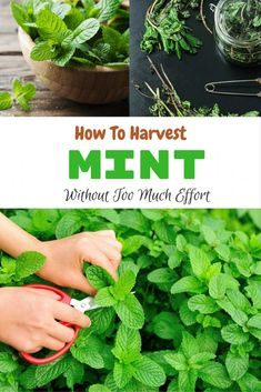 How To Harvest Mint Without Too Much Effort There is no better thing than homemade tea. Mint is one of the most common plants used for this purpose. Therefore, you must know how to harvest mint. Growing Ginger Indoors, Growing Mint, Growing Herbs, Peppermint Tea Benefits, Peppermint Plants, Gardening For Beginners, Gardening Tips, Gardening Vegetables, Urban Gardening