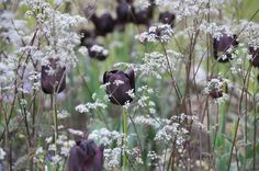Black tulips & lacey white umbels