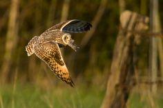 Short-eared owl by Alain Balthazard,