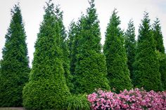 Buy Thuja Green Giant evergreen trees online, arrive alive guarantee. FREE Shipping on ALL Orders over $99. Immediate Delivery.