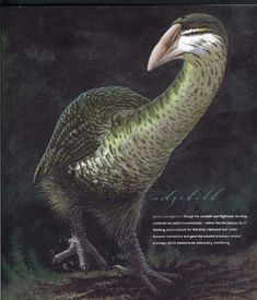 The Adzebills (genus Aptornis) were two closely related species, the North Island Adzebill, and the South Island Adzebill of the extinct family Aptornithidae. The family was endemic to New Zealand. Extinct Birds, Extinct Animals, Prehistoric Wildlife, Prehistoric Creatures, Animals Images, Animals And Pets, Feathered Dinosaurs, Dinosaur Fossils, Bird Species
