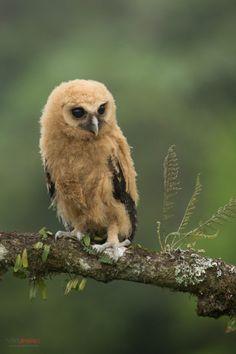 creatures-alive: Mottled Owl (Ciccaba virgata) juvenile perched on a branch by Chris Jimenez