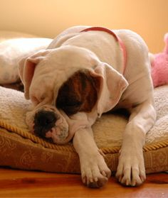10 Cool Facts About Boxers - Dogs Tips & Advice   mom.me