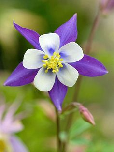 Columbine-best plants for cottage gardens        Easy to grow and beautiful, columbine blooms in spring and early summer. The colorful blooms are loved by hummingbirds and gardeners alike.        Name: Aquilegia varieties        Growing conditions: Part shade and well-drained soil        Height: To 3 feet tall        Zones: 3-9, depending on variety        More on Growing Columbine