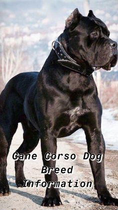 10 Best Cane Corso Dog Breed Images In