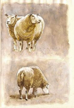 A couple of sheep at the Zuidoostbeemster, wallnut-ink drawing by Co van Assema 2015.