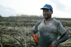 Sugar cane field worker, Mauritius