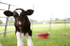 I just.. love Baby Cows , way too much.