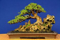 Naturally Dramatic #bonsai | Bonsai Bark