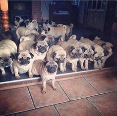 Pug family_I'm not kidding!