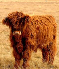 Fluffy cows. Are you kidding me!?!! How amazingly Adorable. I need two of them, now. Anybody want to lend me a farm? Hahaha